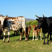 cattle_JER5705